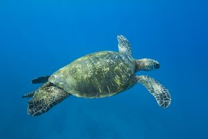 Adult male green sea turtle (Chelonia mydas) in the protected marine sanctuary at