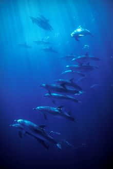 Atlantic Spotted Dolphins (Stenella frontalis). Azores, Portugal, Atlantic. (rr)