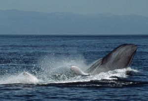 Blue whale breaching (Balaenoptera physalus). USA, Channel Islands, CA