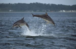 Bottlenose dolphin (Tursiops truncatus truncatus) - two leaping clear of the water