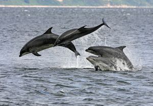 Four Bottlenose dolphins (Tursiops truncatus) in the Moray Firth socialising by breaching