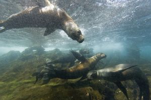 Curious Galapagos sea lions (Zalophus wollebaeki) underwater at the Guy Fawkes Islets