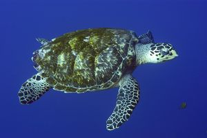 Green sea turtle, Chelonia mydas, in open water, St. Peter and St. Paul rocks, Brazil