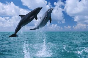 Leaping dolphin pair (rr)