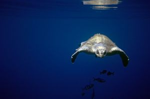 Pacific olive ridley turtle underwater. (Lepidochelys olivacea). Between Columbia and Galapagos