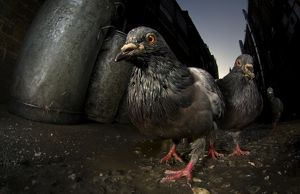 Pigeons (Columba Livis) gather in a dark alleyway, Chinatown, London