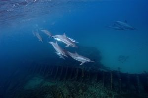 Pod of spinner dolphins, Stenella longirostris, swimming by the greek shipwreck