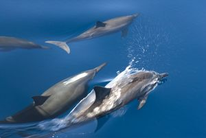 Spinner dolphins (stenella longirostris). Bow riding spinner dolphins. Eastern Caribbean