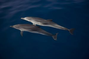 Striped dolphins (Stenella coeruleoalba) under crystal clear surface. Greece, Eastern Med.